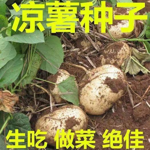 唐山迁安市 凉薯种子水果凉薯种子原装种子包邮