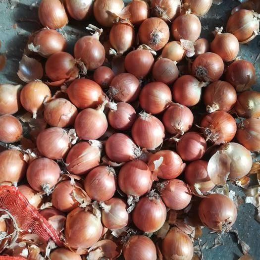 济宁金乡县 精品6-8小黄皮洋葱,量大可以优惠