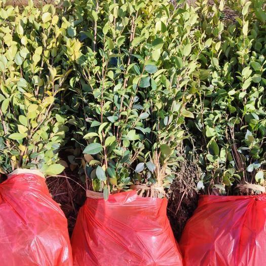 丰城市长林茶树苗 高产油茶苗长林4。40。3。53号欢迎老板订购也可以实地考察