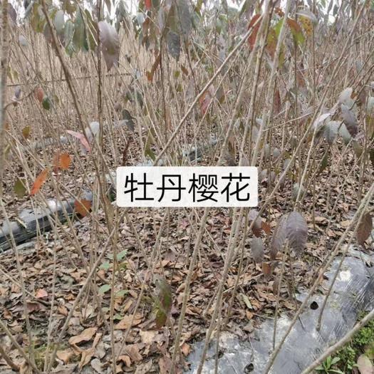 新昌縣臺灣牡丹櫻 1~1.5米 4公分以下
