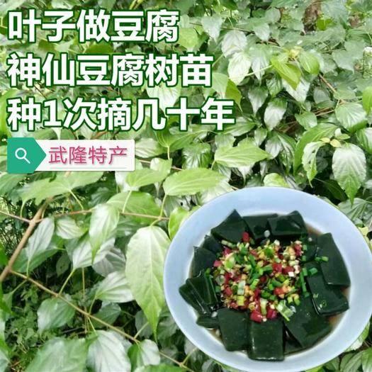 重庆武隆豆腐柴苗 豆腐树苗盆地栽蔬菜苗豆腐树苗翡翠豆腐树苗豆腐豆腐