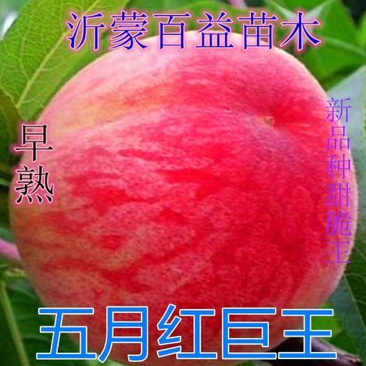 平邑县 早巨王桃树苗包品种包成*下单现挖现发