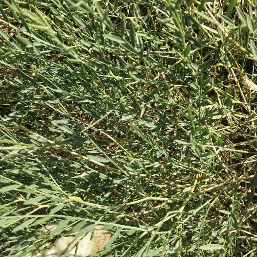 赤峰翁牛特旗黄芪种苗 扬柴