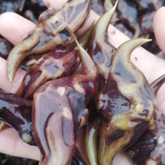 彭澤縣 脫皮菱角,菱角種子