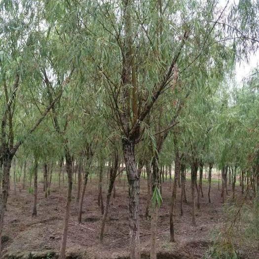 宿遷沭陽縣 垂柳樹價格優惠常年批發供應