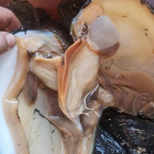 宾县 常年供应河蚌淡水食用