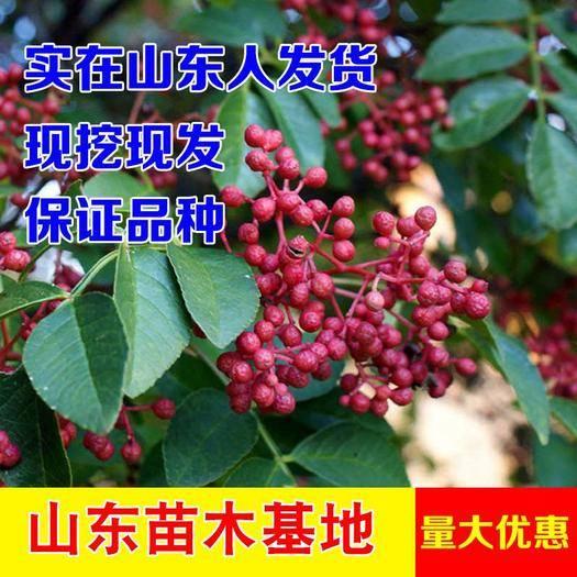 臨沂平邑縣大紅袍花椒苗 大紅袍花椒面,耐寒耐寒產量高