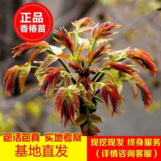 临沂平邑县红油香椿苗 现挖现发量大优惠南北方皆宜种植