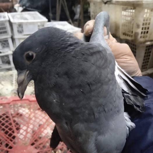 茂名茂南區灰鴿 夠老夠重,量大從優