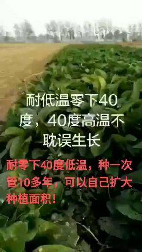菏泽郓城县俄罗斯饲料菜种子 俄罗斯饲料菜俄罗斯饲料菜菜根聚合草