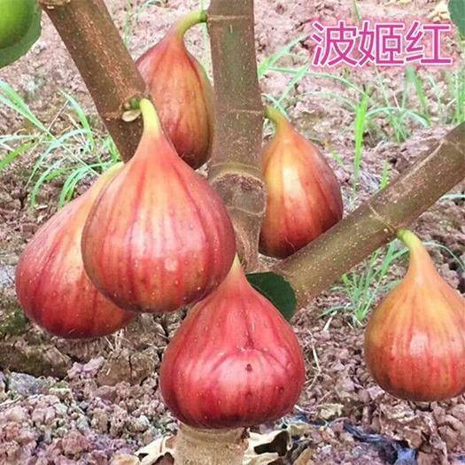 临沂平邑县 波姬红无花果苗,高产量果实大甜度高