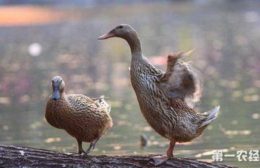 宿遷沭陽縣 麻鴨,番鴨種蛋出售,蛋拖發貨受精率90%