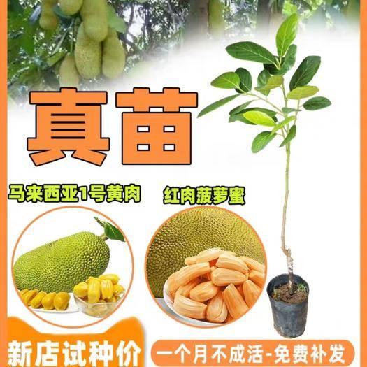 钦州浦北县 别在买假红肉菠萝蜜苗,黄肉菠萝蜜苗