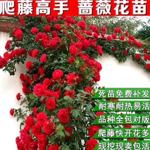 平邑县 蔷薇苗 蔷薇爬藤花苗 花色齐全 月季 分枝条多 开花爆满