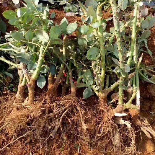 昆明呈贡区玫瑰苗 基地直发云南1到3年生玫瑰月季大苗地栽月季大苗