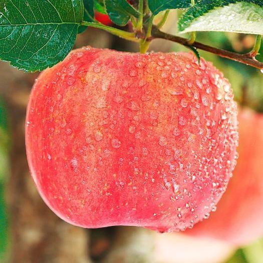 渭南 陜西紅富士蘋果水果新鮮當季孕婦10斤脆蘋果