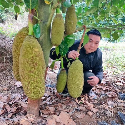 钦州灵山县马来西亚一号菠萝蜜苗 菠萝蜜树苗 嫁接马来西亚1号水果苗  榴莲蜜苗南方种植带土