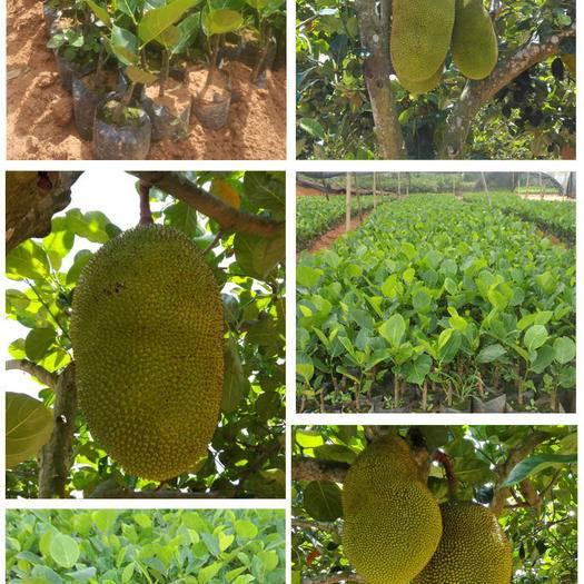 钦州灵山县 泰国红肉菠萝蜜苗12号,5号,12号