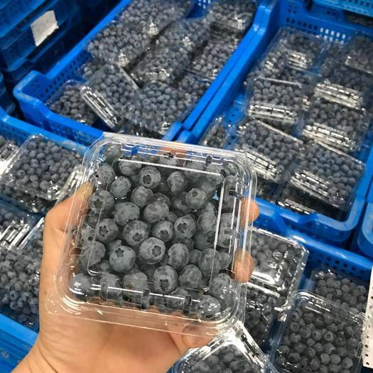 大連莊河市 大連特種苗木培育,榮譽出品,北緯三十一度優質藍莓