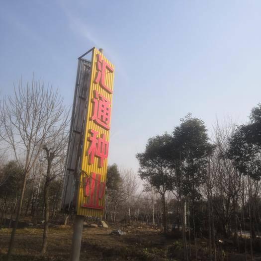 菏泽牡丹区五角枫种子