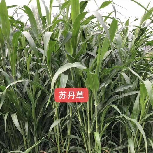 菏泽郓城县 苏丹草种子养鱼牧草种子产量高适口性好