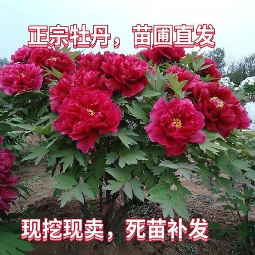 平邑縣 正宗嫁接牡丹,紅,黃,紫,黑,白,地栽盆栽南北種植