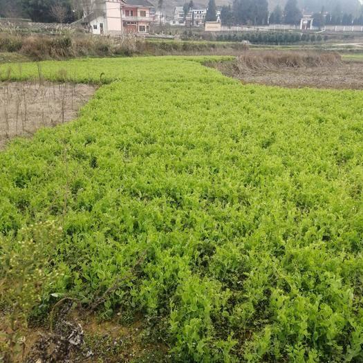 凤冈县豌豆苗 大量豌豆尖现摘现卖,需要的老板联系