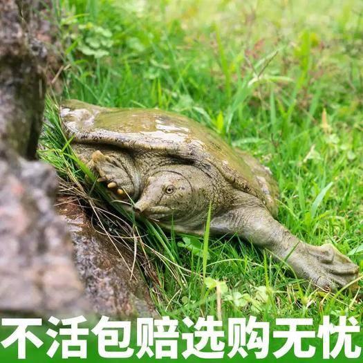 荆州洪湖市 5年以上纯生塘 生态甲鱼 水鱼 团鱼 甲鱼 王八憋 死包赔