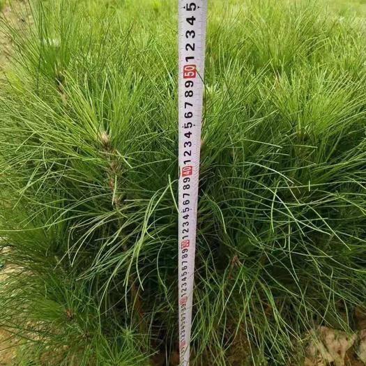 九江湿地松树苗 马尾松,湿地松,黑松,油松等小苗大量供应,交通便捷,价好货多