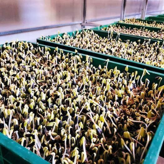 兰州永登县油葵芽 有机芽苗菜,油葵苗