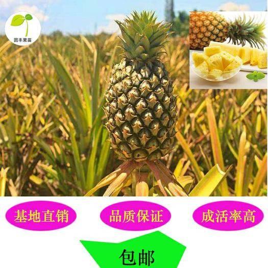 钦州灵山县 香水菠萝苗 可盆栽可地植可枞生,百分百成活、结果。包邮