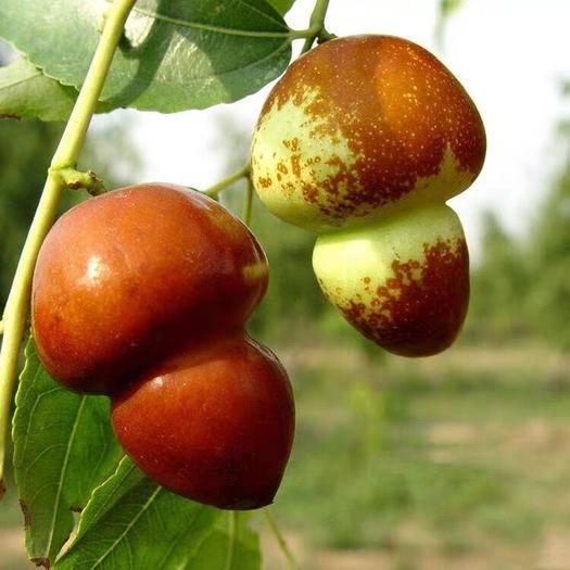 平邑县 葫芦枣树苗基地培养果实甘甜适合南北方种植