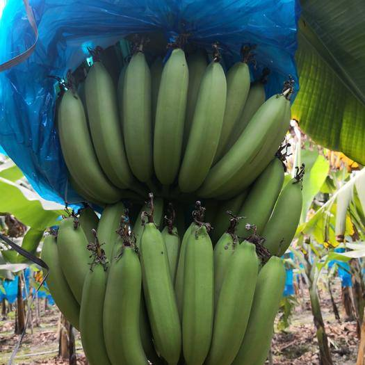肇庆广东香蕉1号 八成熟