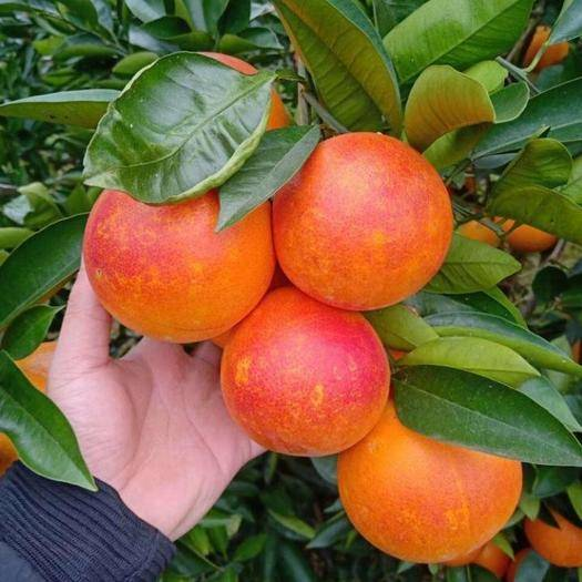 永州祁阳县塔罗科血橙苗 自产自销,保品种,第2年可挂果。