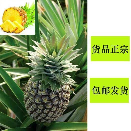 钦州灵山县 皇后菠萝苗 可盆栽可地植,成活率高 包邮