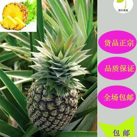 钦州灵山县 皇后菠萝苗 可盆栽可地植,果实产量高,100%成活 包邮