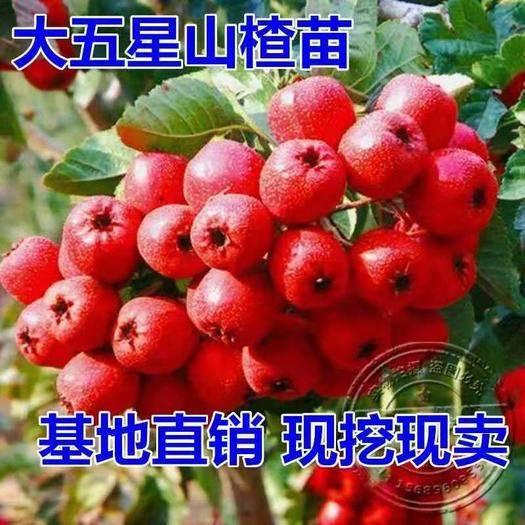 临沂平邑县 大五星山楂树苗,适合南北方种植,基地直销三包发货。