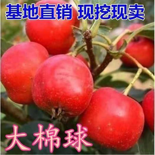 临沂平邑县 大棉球山楂树苗,适合南北方种植,基地直销三包发货。