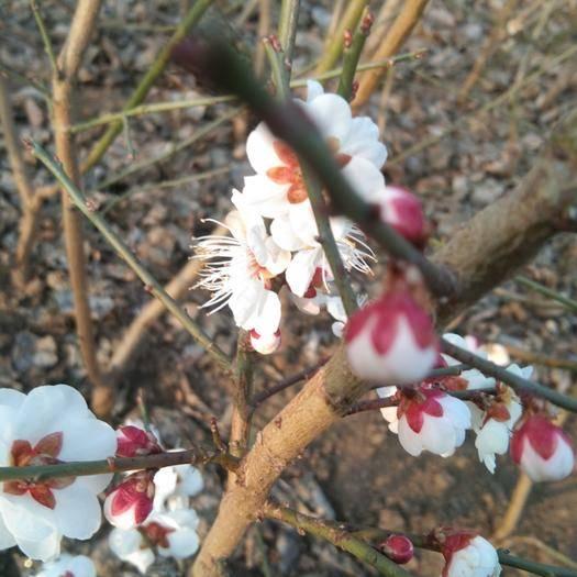 新沂市 各種梅樹都是扦插原生苗