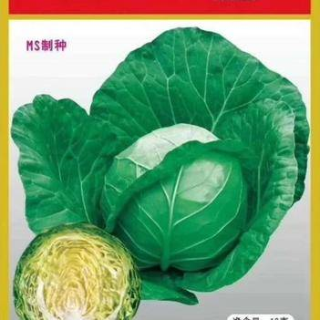 油绿甘蓝种子