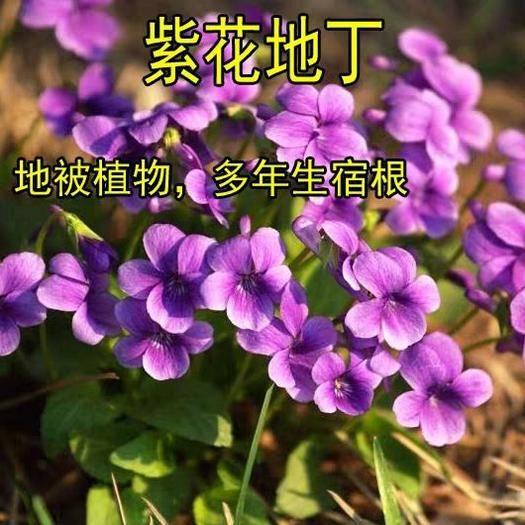 宿迁沭阳县 紫花地丁种子多年生耐寒花籽四季易种活庭院阳台盆栽观花植物种子
