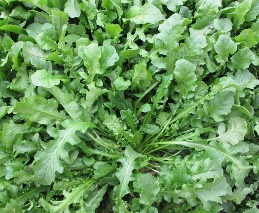 平邑县 纯天然荠菜,多种多样,保鲜发货,无公害无污染绿色食品
