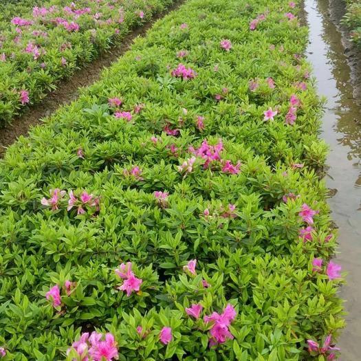 长沙雨花区杜鹃苗 苗铺直供一手价格,叶片好,冠幅大,根细旺,易存活价格优惠量大