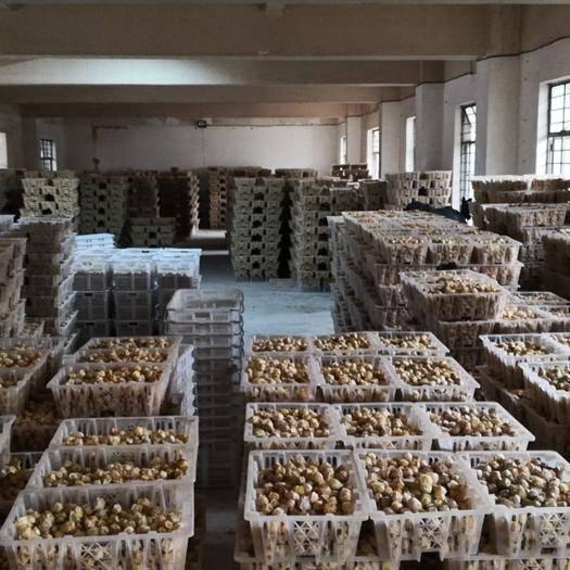 勐海县灯笼果 果大,果黄,甜香