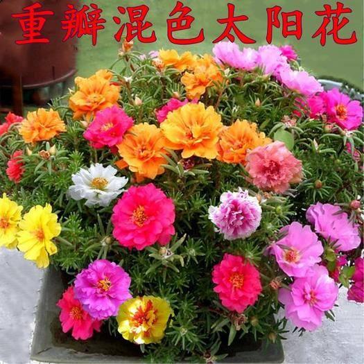 宿迁沭阳县 重瓣太阳花种子混色四季易活开花不断室内阳台花卉盆栽花种籽子