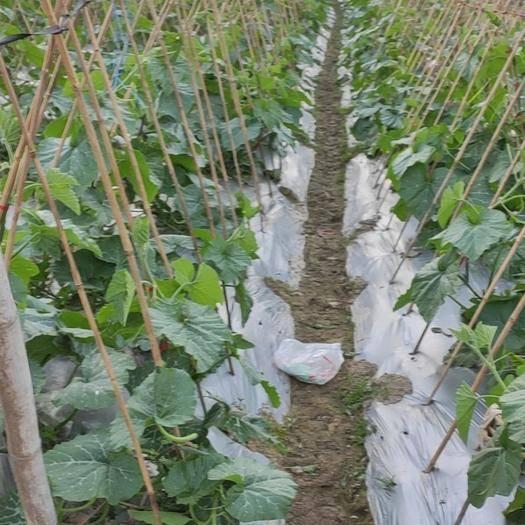 长泰县 小南瓜预售,各类蔬菜均有种植,价格详谈,