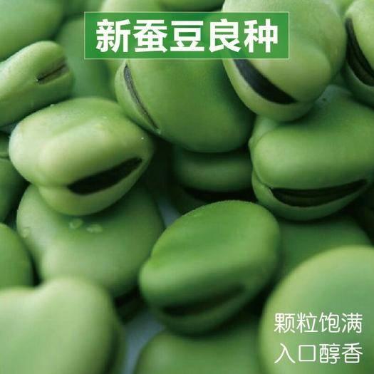 衡阳 蚕豆种子 蔬菜种子四季播 秋冬蔬菜种子抗寒耐寒蔬菜种子高产