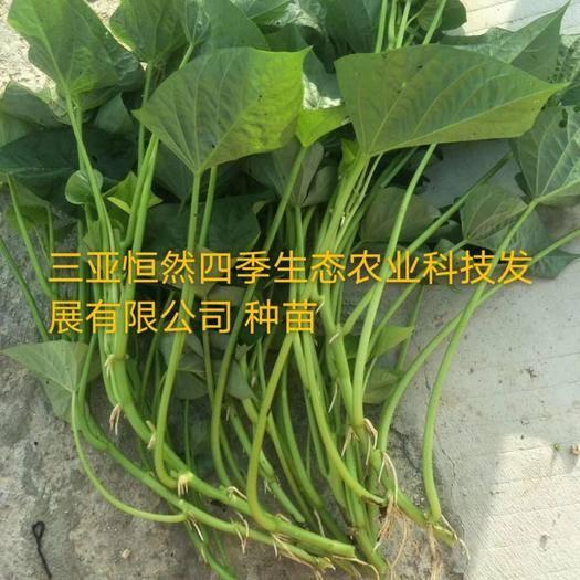 三亞紅薯葉 種苗 苕尖種苗 番薯葉種苗