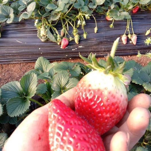 泰安太空2008草莓苗 地栽苗 20~30公分
