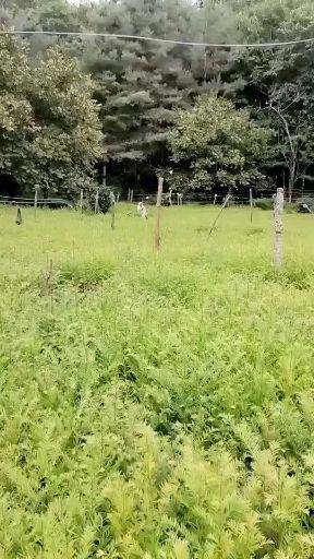 保山昌宁县红豆树苗 优质红豆杉种苗,含量高生长快成活率高